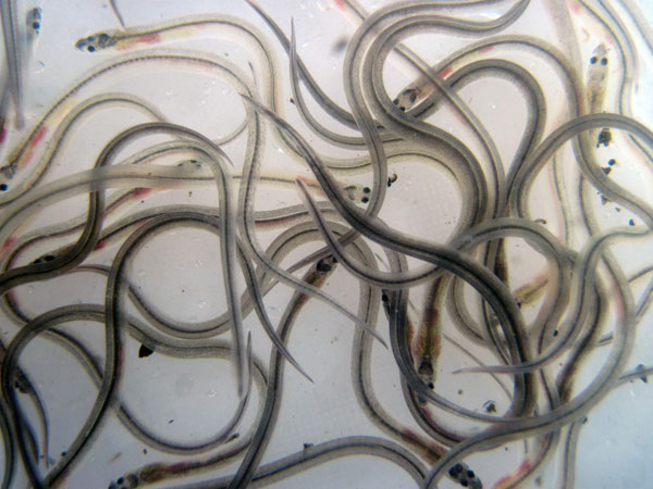 There are still significant numbers of glass eels and elvers in the Shannon region, These numbers are not being indicated by Inland Fisheries Ireland's monitoring programme.