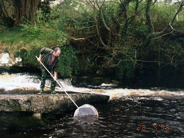 Dr. William O'Connor dip netting elvers at the falls in Ennistymon during 1996. In 1996 a total of approximately 400,000 elvers were captured in a 5 day period using a combination of trapping and dip netting (O'Connor, 2003). It is noted that this work was not undertaken by the ShRFB as claimed by O'Leary et al (2012), and calls into question the accuracy of elver trapping index data being used by Inland Fisheries Ireland.