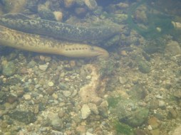 Sea lampreys were spawning at Annacotty during June 2013