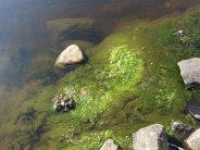 Poor water quality in the River Shannon downstream of the dam, as evidenced by excessive filamentous algae growth