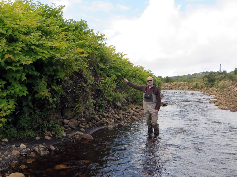 Arigna River c 1km downstream of Gubharudda Bridge, August 2014, over 2 years after the dredging works. The non-native invasive pant species Japanese knotweed which was spread by the 2012 works is now firmly established. The banks are still unstable and this site is a source of both suspended solids pollution and a biosecurity risk to downstream catchment area.