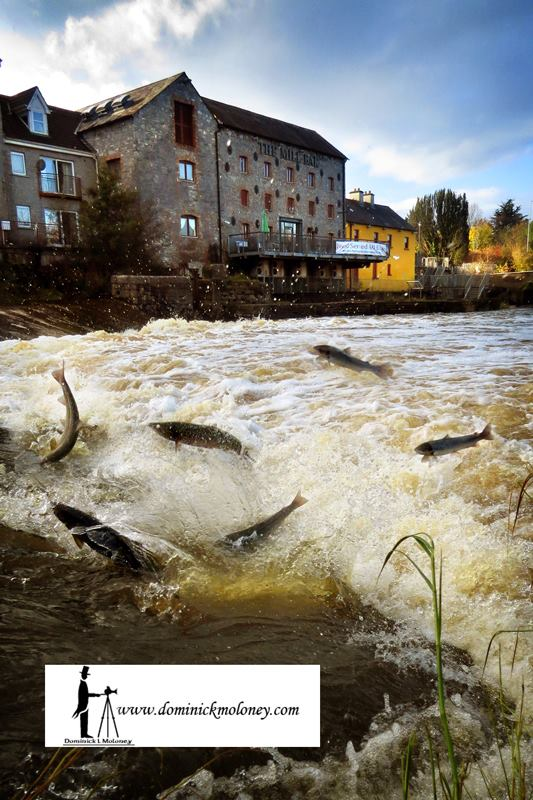 Annacotty salmon run