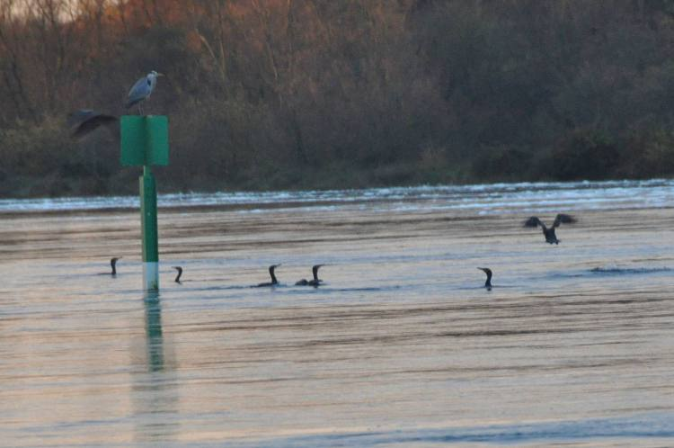 Cormorants River Shannon (1)