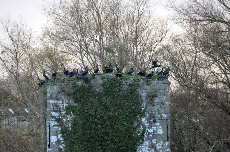 Cormorants River Shannon (2)