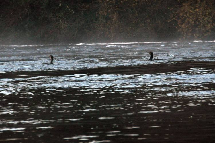 Cormorants River Shannon (3)
